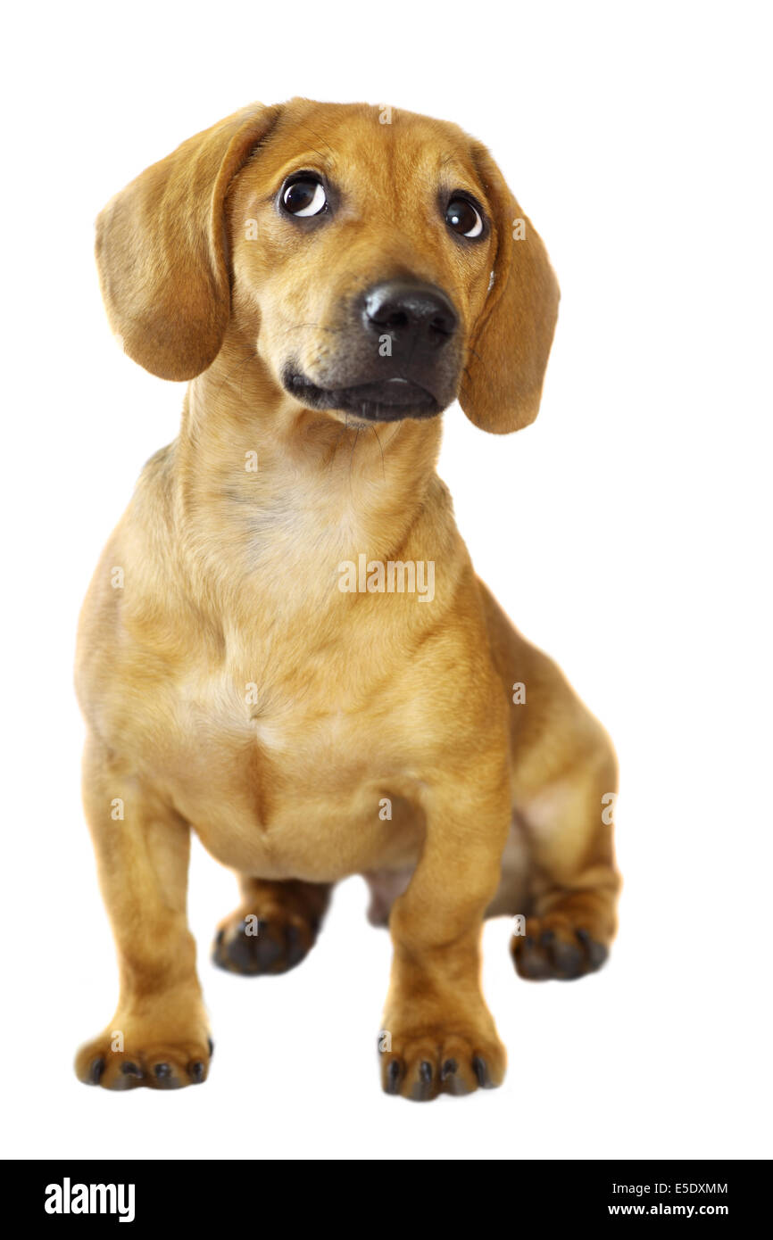 Dachshund puppy isolated over a white background - Stock Image
