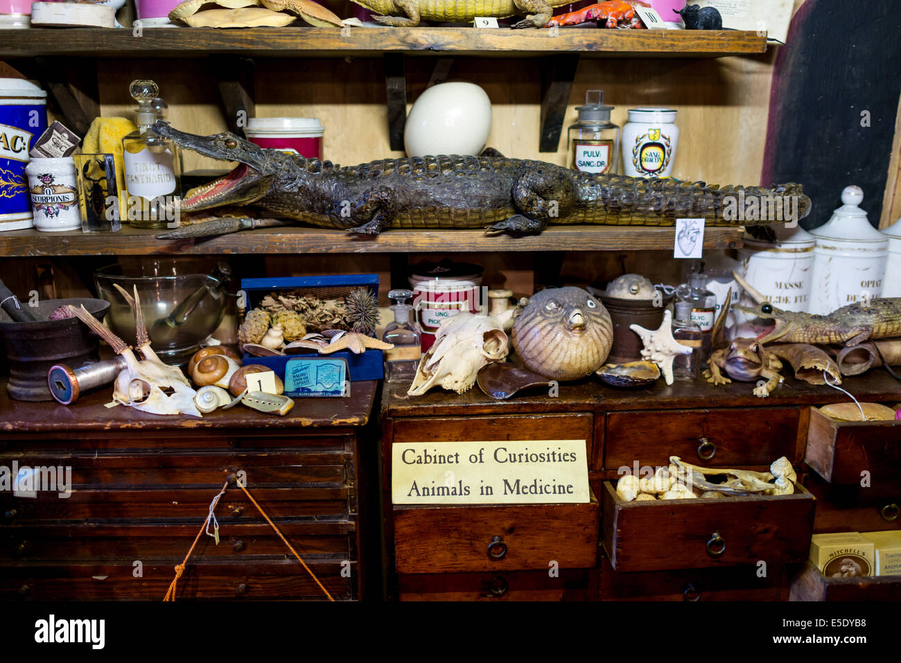 Cabinet of curiosities: Animals in Medicine. The Old Operating Theatre Museum and Herb Garret is a museum of surgical - Stock Image