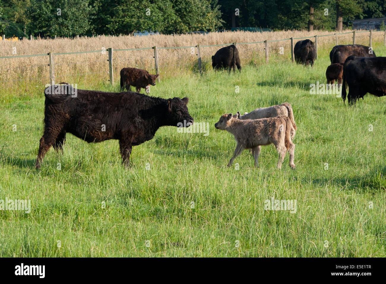 Hochlandrind Kalb Kaelber braun neugierig Wiese Frei Freiheit Eingezaeunt eingesperrt Bauern Bauer Bauernschaft - Stock Image