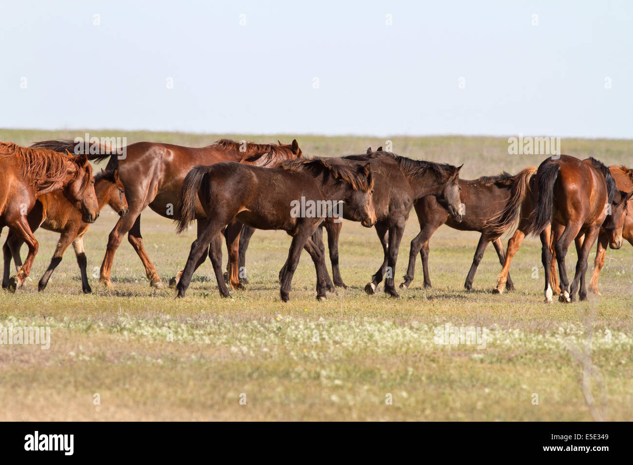 herd of horses wandering on a hot day of spring steppe - Stock Image