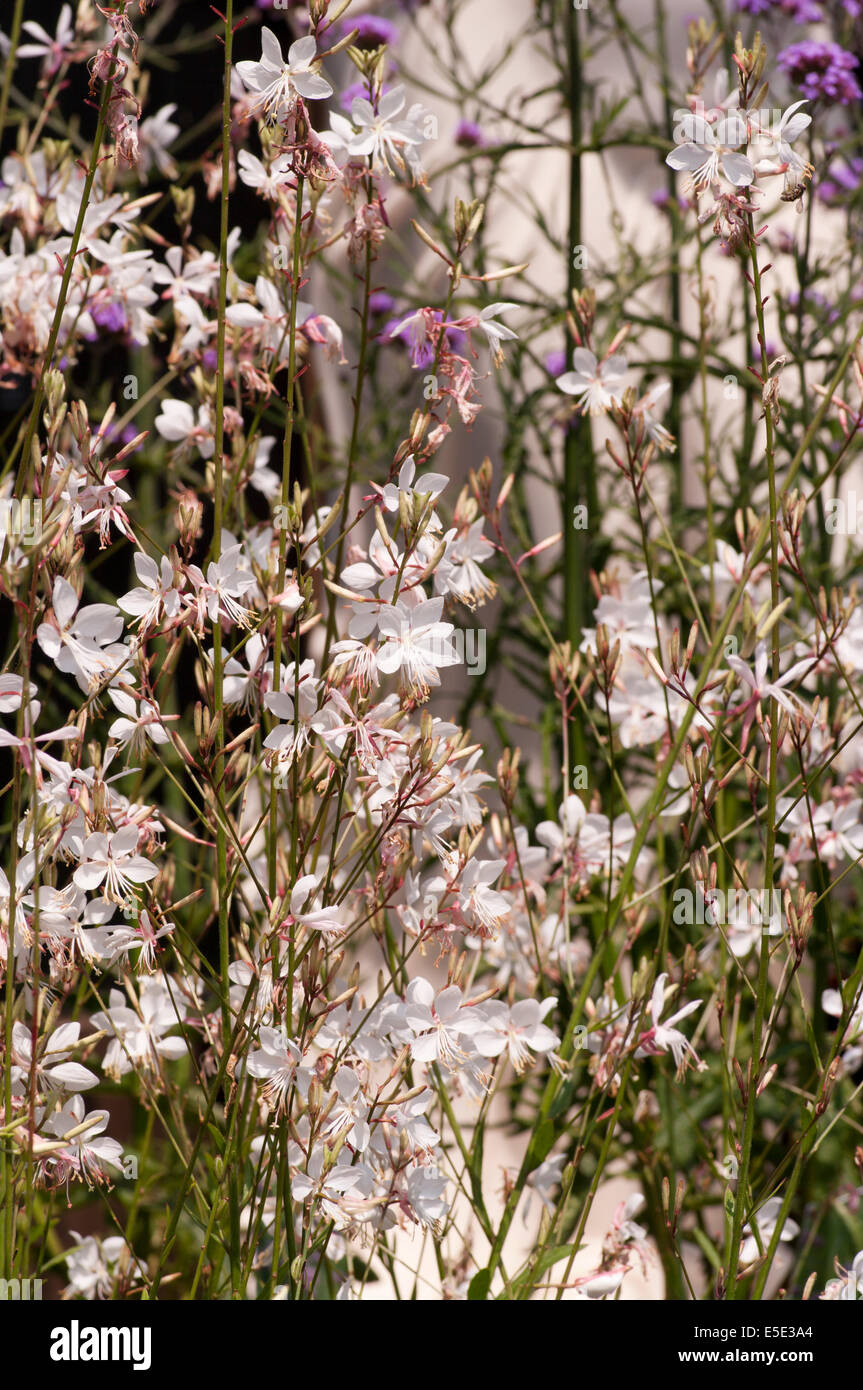 Gaura lindheimeri ' Snow Fountain ' commonly known as Lindheimer's Beeblossom, White Gaura, Pink Gaura, - Stock Image