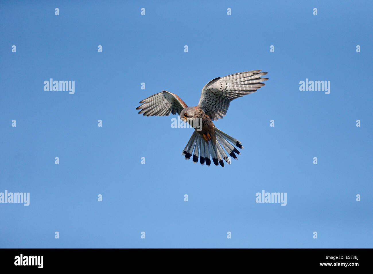 Kestrel, Falco tinnunculus, single male hovering, Warwickshire, May 2014 - Stock Image