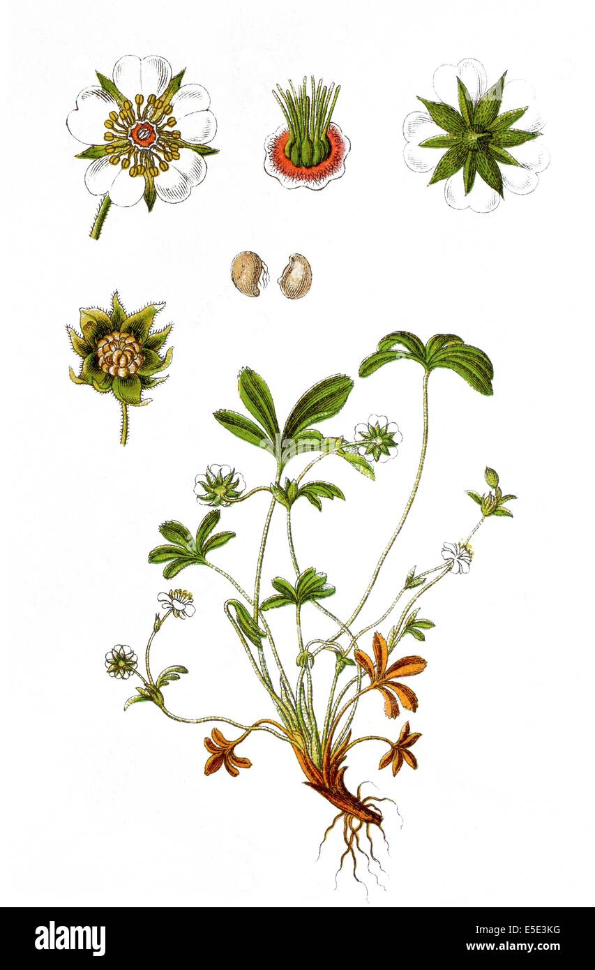 White cinquefoil root: use in traditional medicine 32