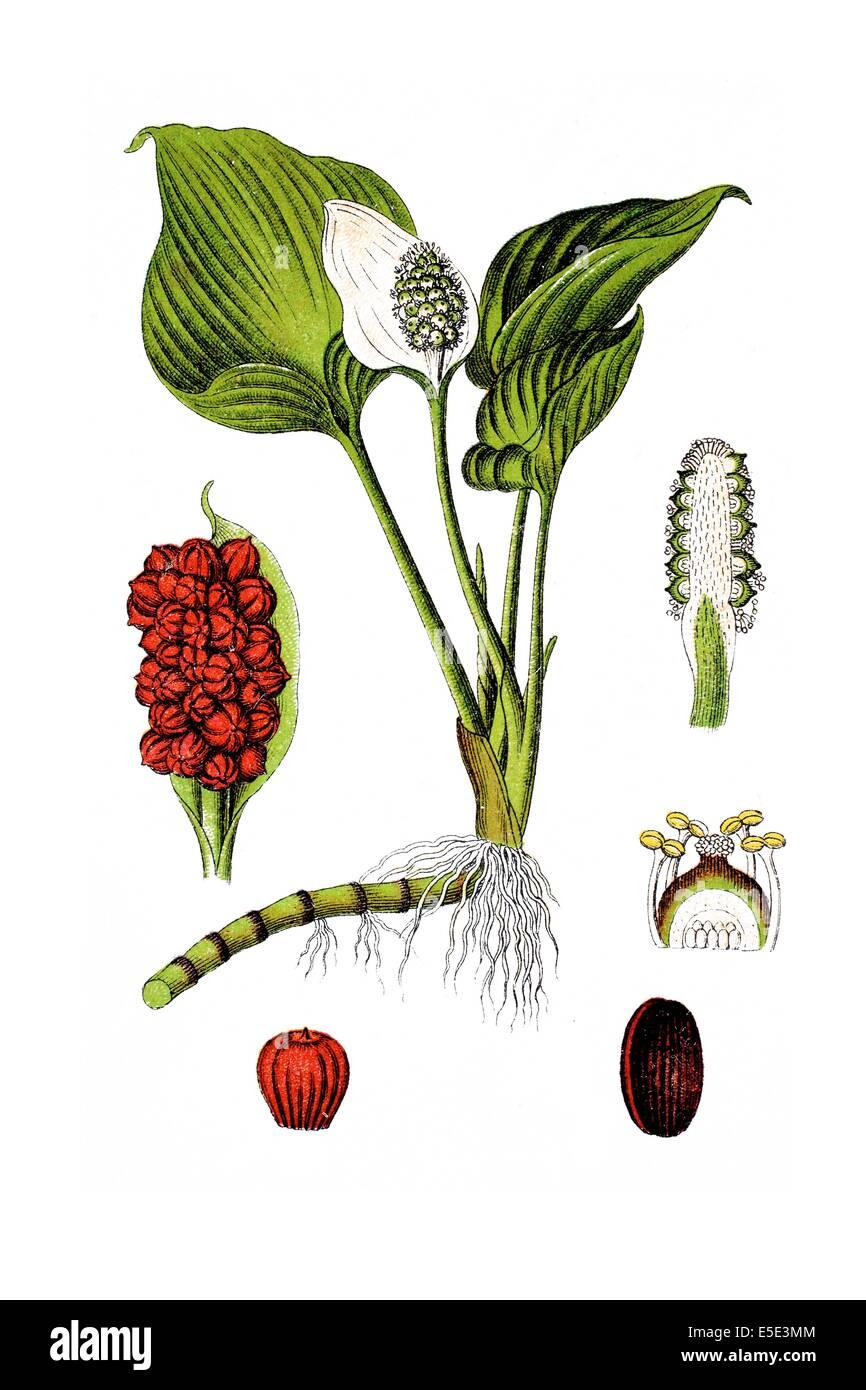 Bog Arum, Marsh Calla, Wild Calla, and Water-arum, Calla palustris - Stock Image