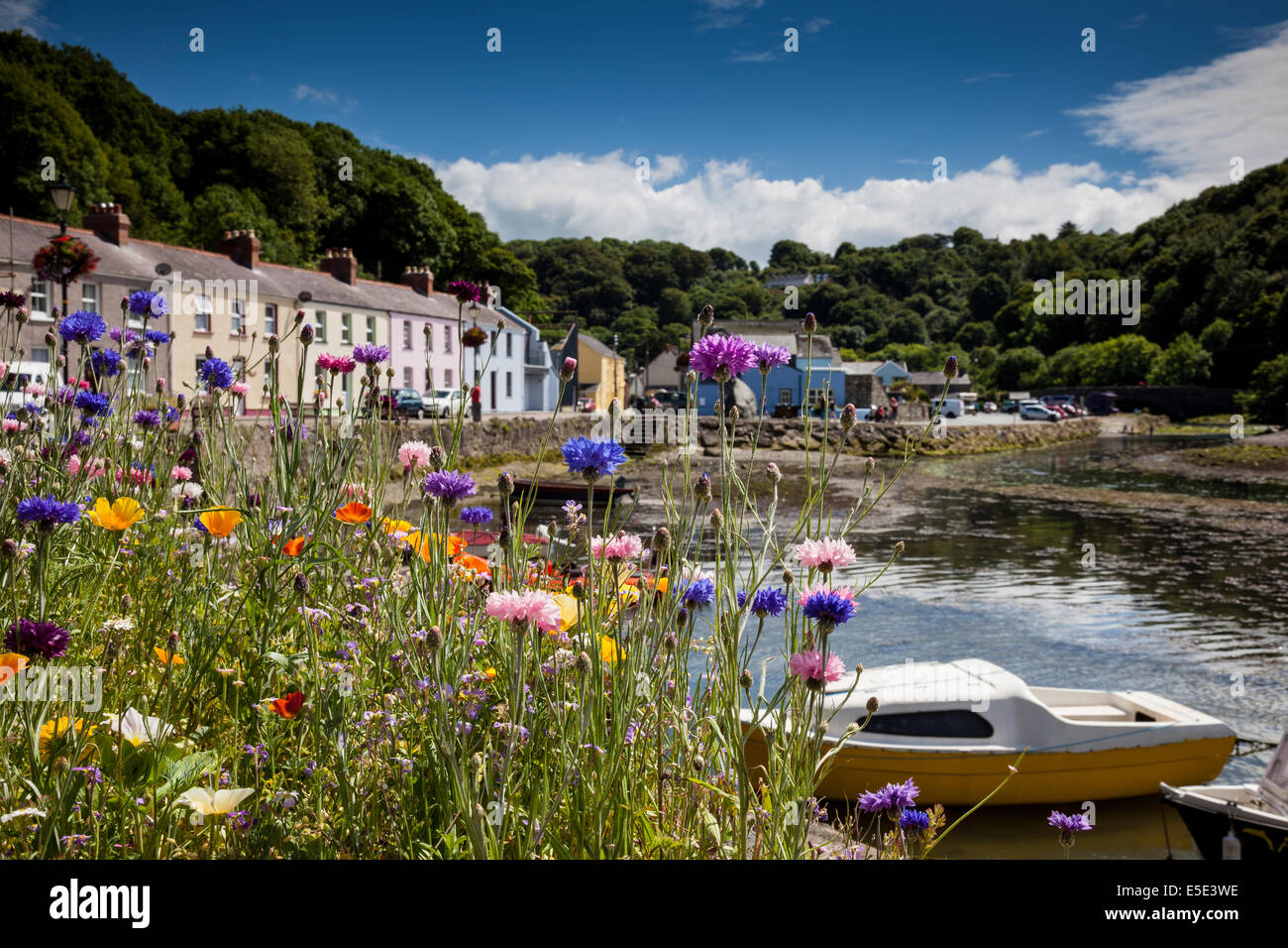 Cornflowers at Lower Fishguard Harbour, Fishguard, Pembrokeshire, Wales - Stock Image