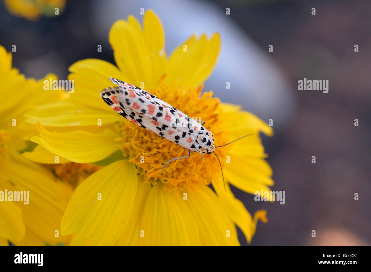 Utetheisa pulchella, Crimson Speckled Footman, Namibia Stock Photo