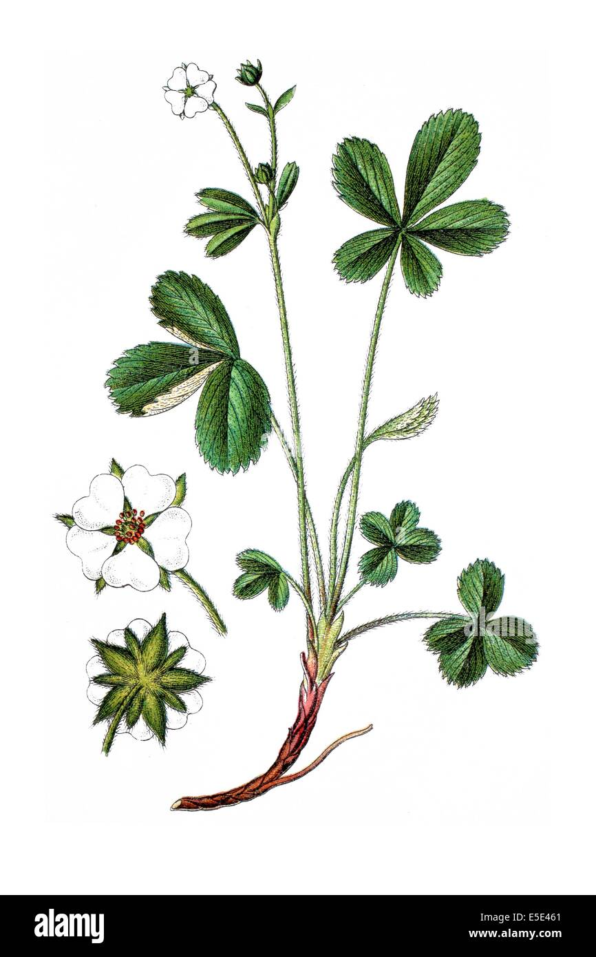White cinquefoil root: use in traditional medicine 52