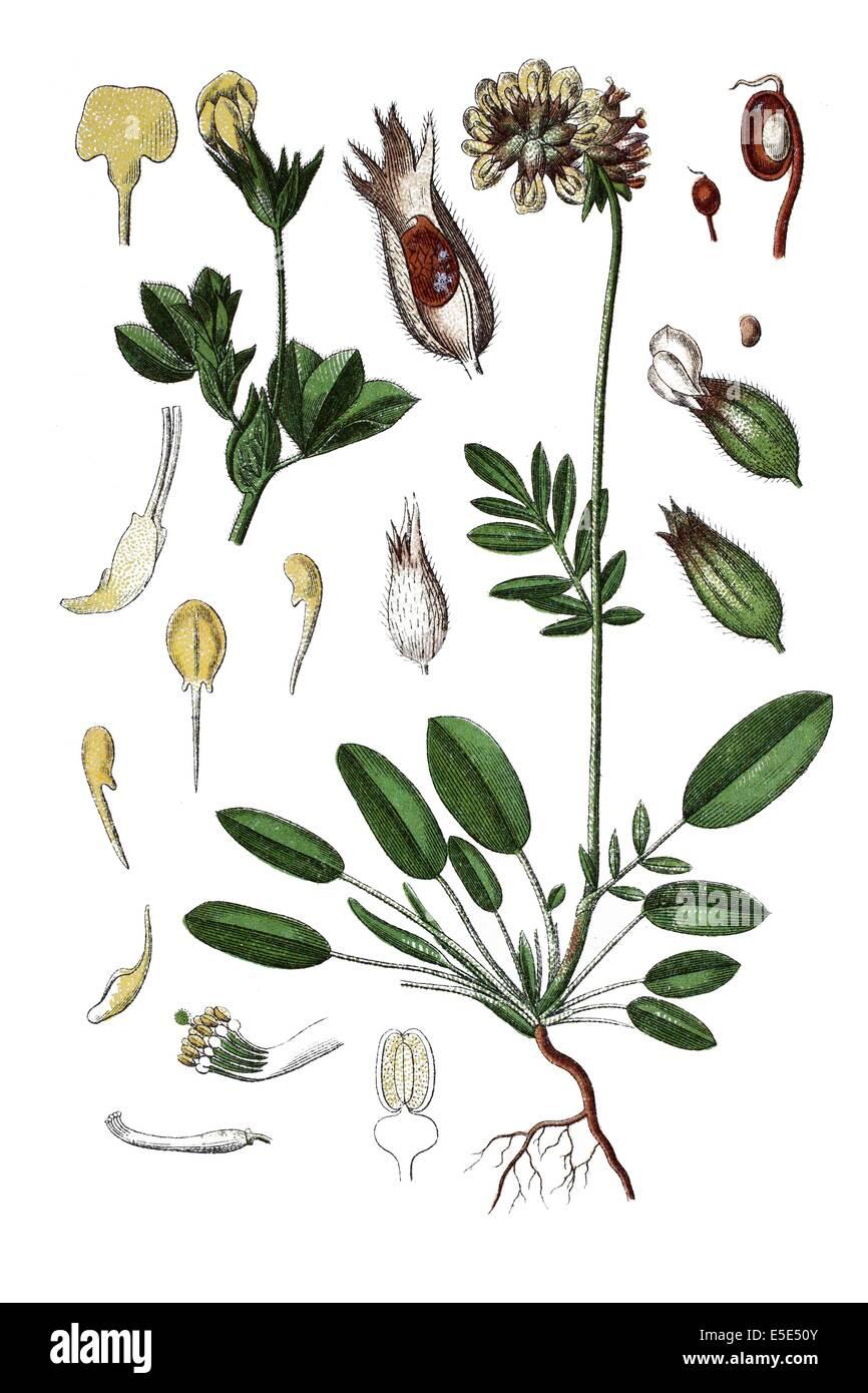 left.Common kidneyvetch, kidney vetch, woundwort, Anthyllis vulneraria, right: coastal bird's-foot trefoil, - Stock Image