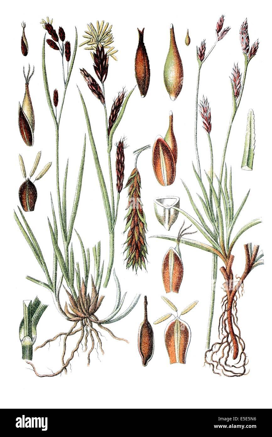 left: Sedge, Carex frigida, right: Carex firma, Carex firma - Stock Image