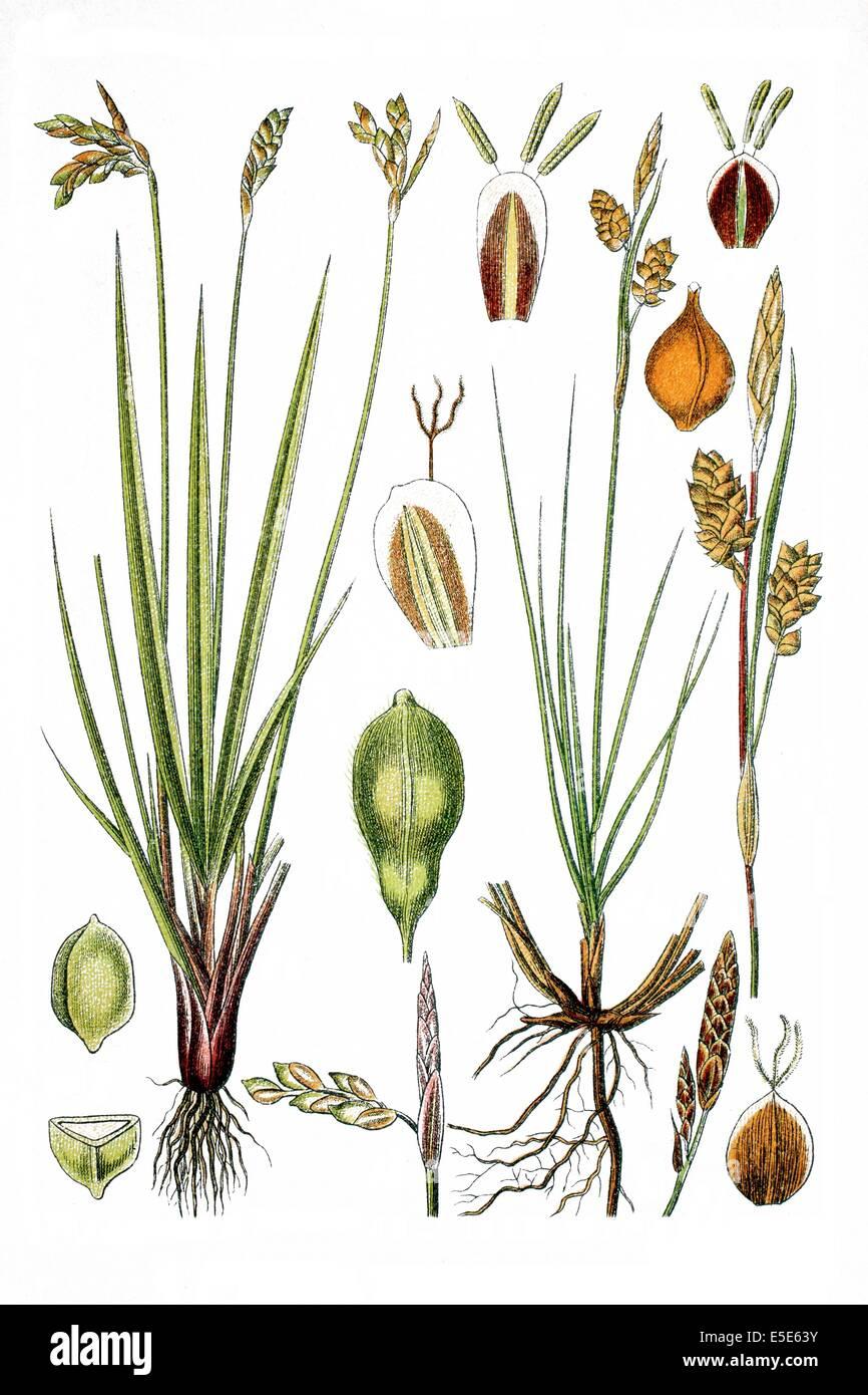 left: Birds Foot Sedge, Carex ornitopoda, right: Glossy Sedge, Carex nitida - Stock Image