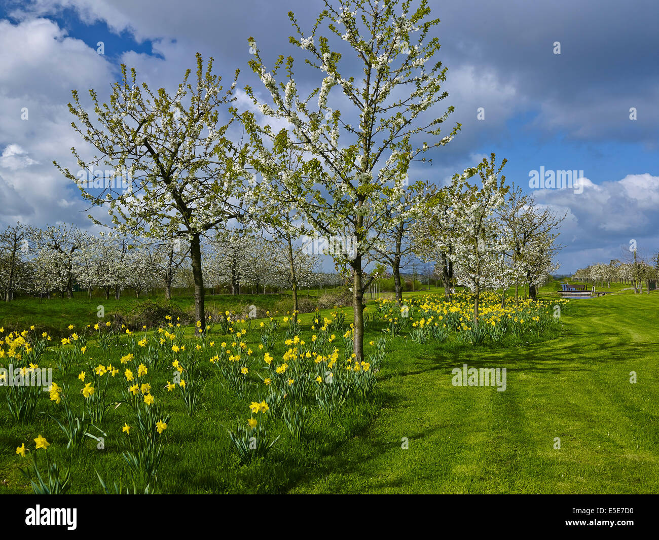 Orchard in Steinkirchen, Altes Land, Germany - Stock Image
