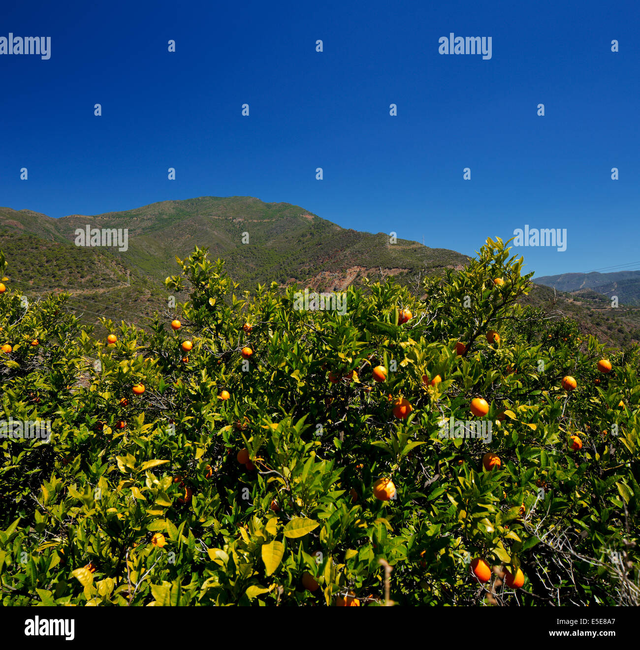 Orange trees with fruits in the southern Andalusia, Spain against a magnificent mountain on a clear sunny day - Stock Image