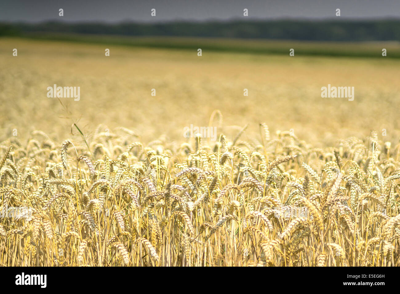Storm coming over ripe wheat field - Stock Image
