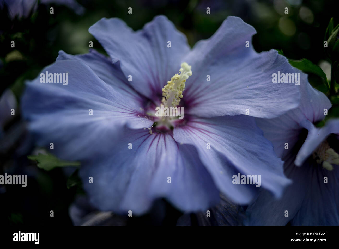 Purple Hibiscus Stock Photos Purple Hibiscus Stock Images Alamy