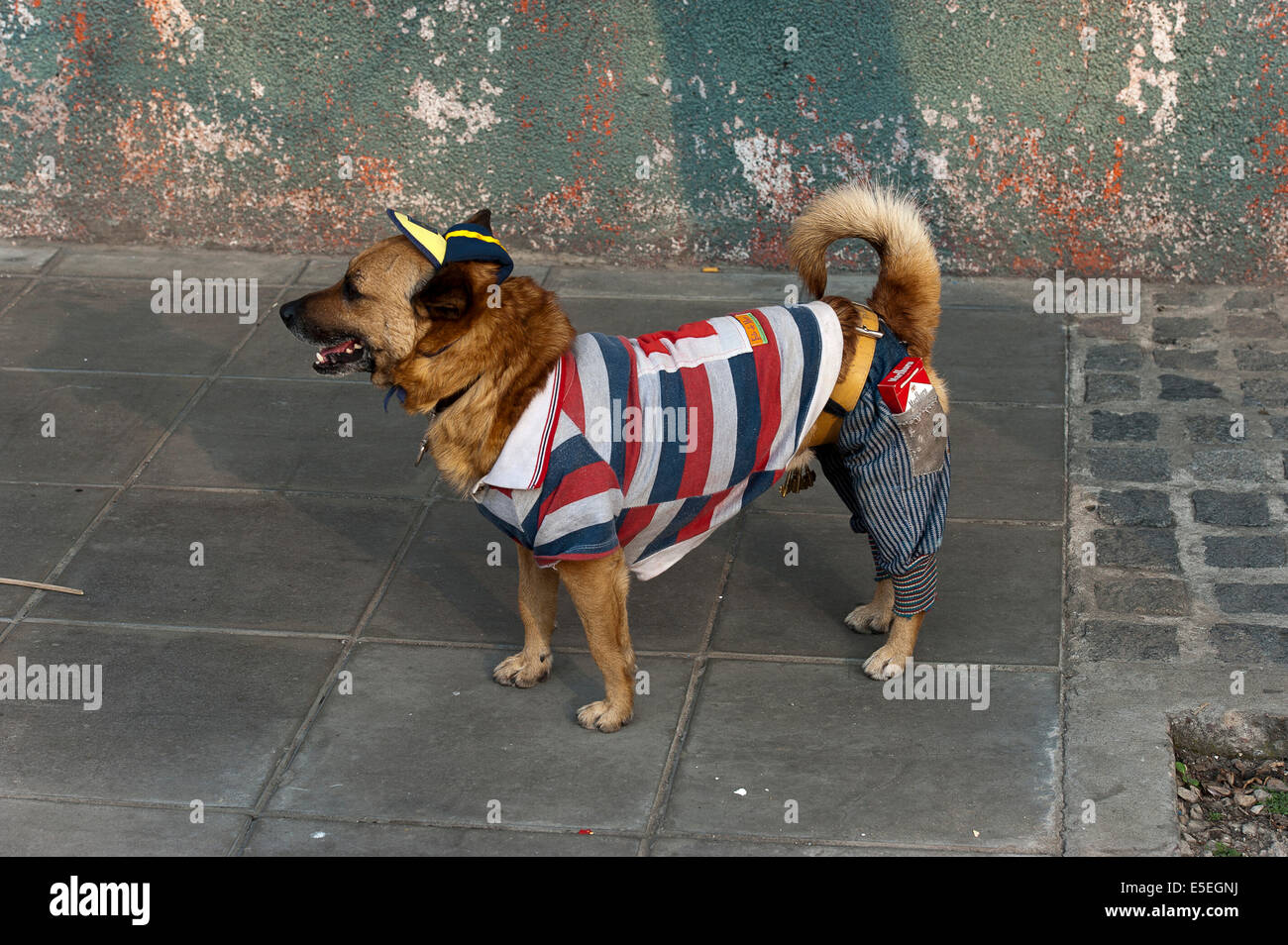 Clothe dog on the street, Buenos Aires, Argentina - Stock Image
