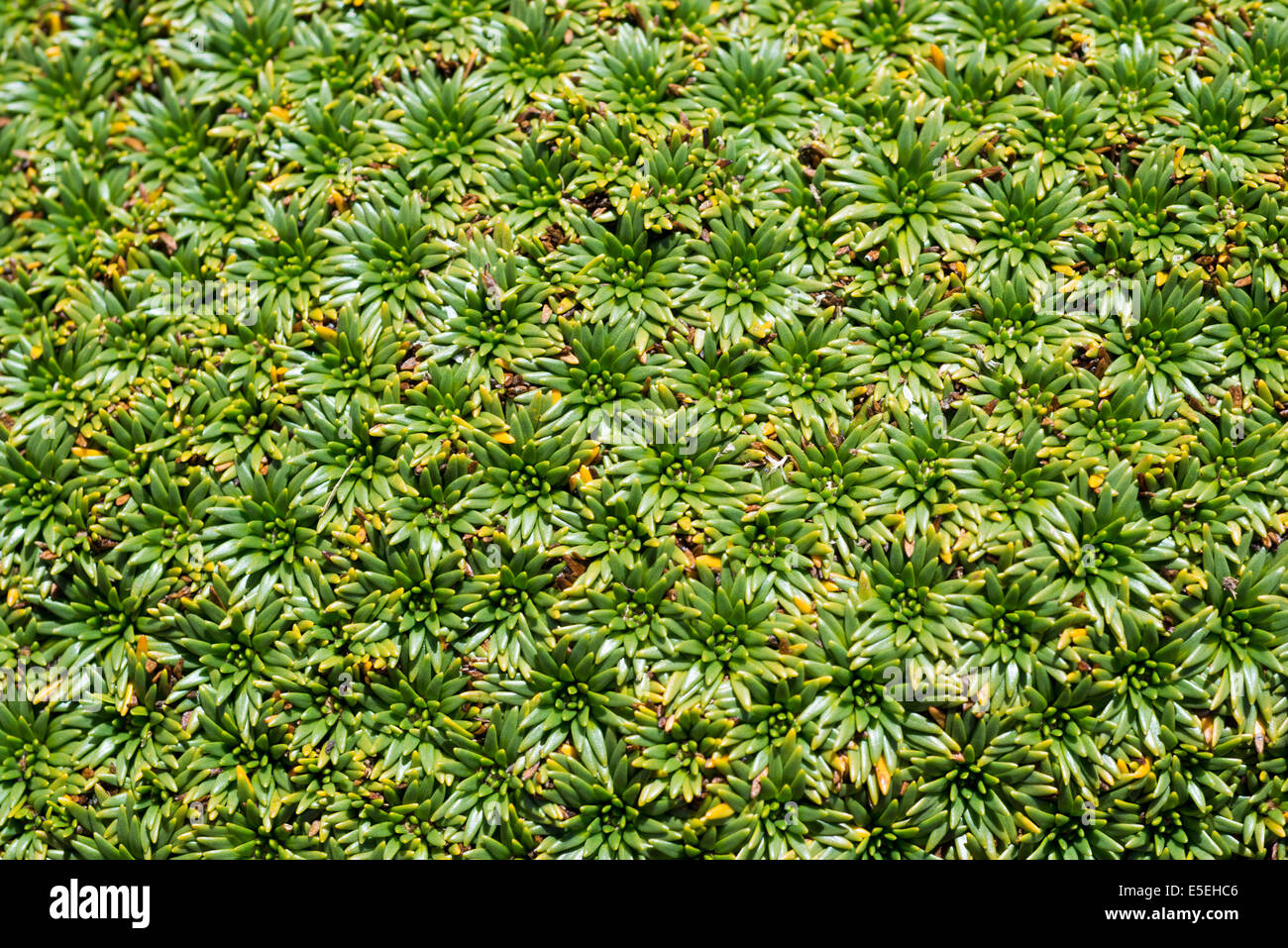 Plant cushion on a mountain meadow, Cordillera Huayhuash, Andes, Northern Peru, Peru - Stock Image