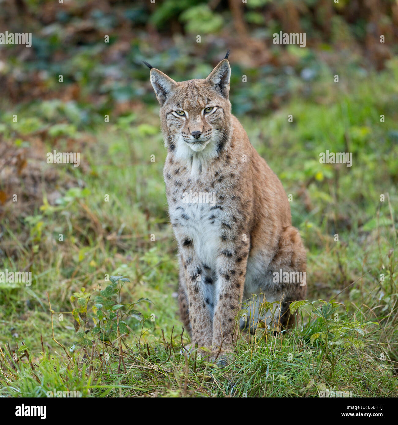Eurasian Lynx (Lynx lynx), captive, Lower Saxony, Germany - Stock Image