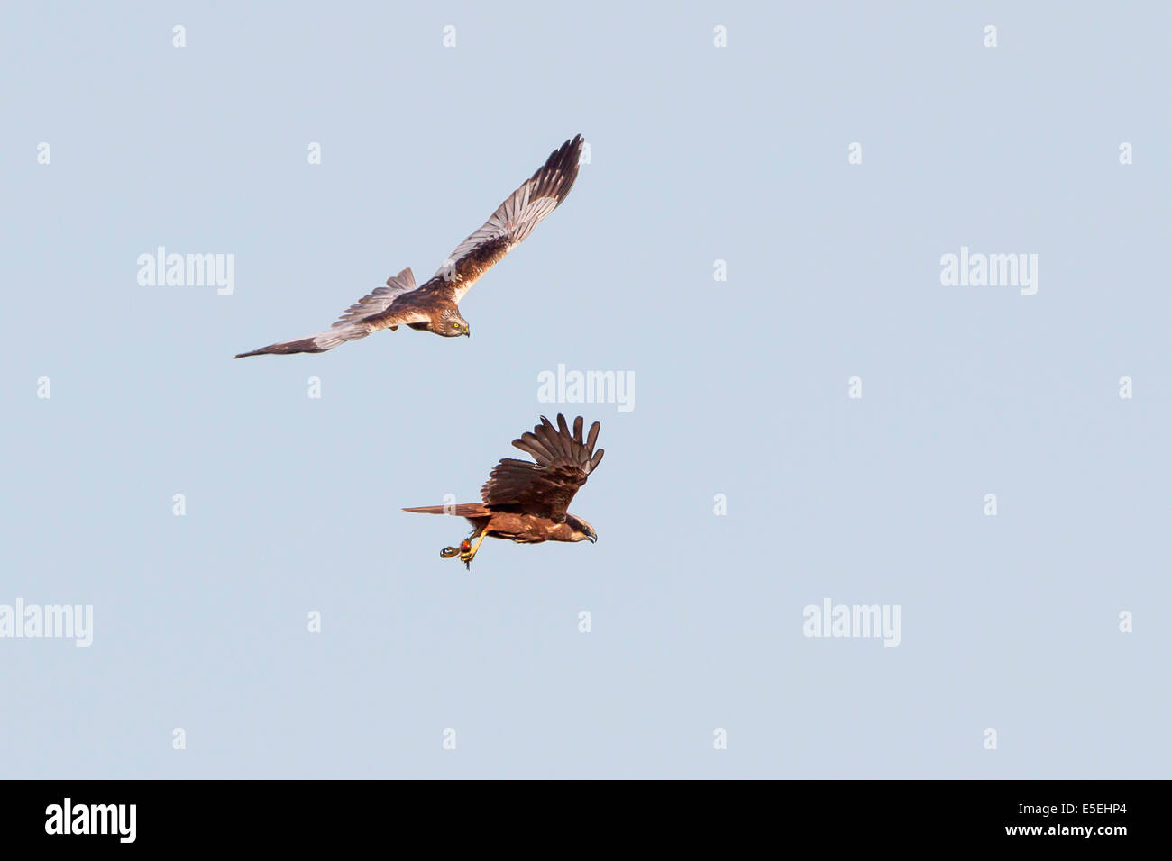 Western Marsh Harriers (Circus aeruginosus), male and female in flight, Texel, West Frisian Islands, province of North Holland Stock Photo