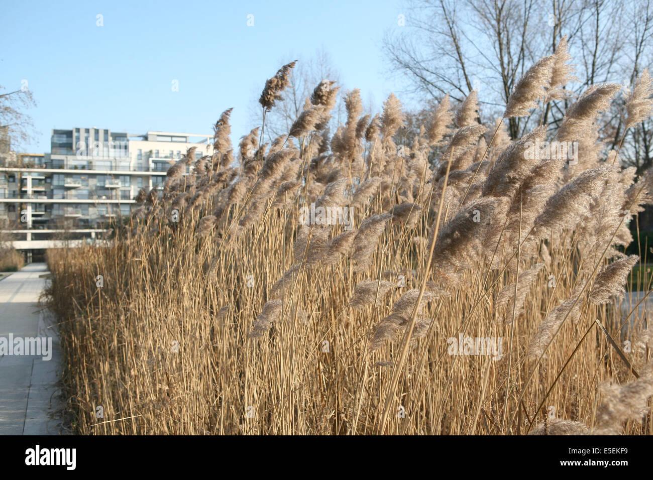 France, paris 12e, parc de Bercy, roseaux, - Stock Image