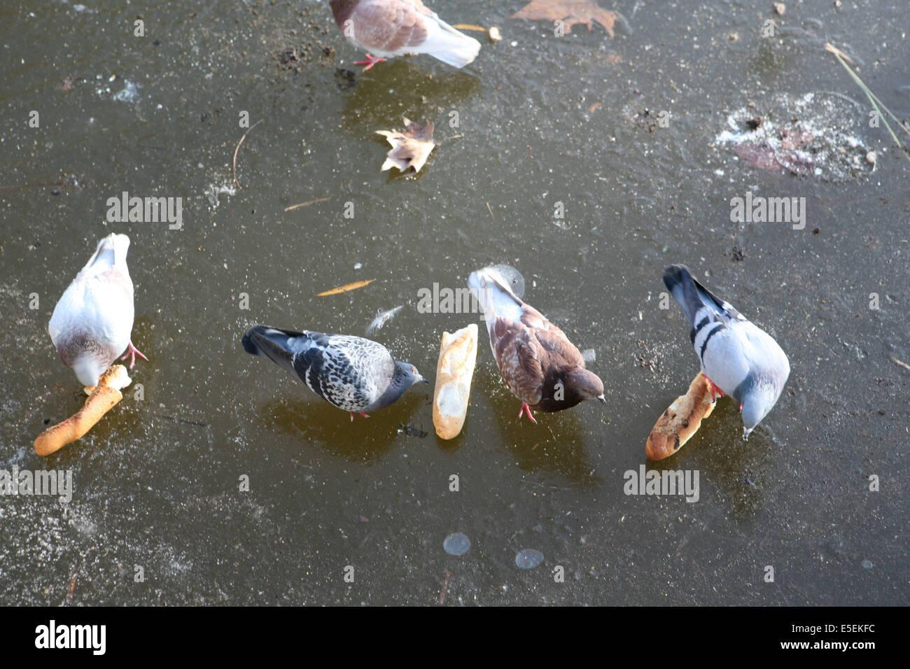 France, paris 12e, parc de Bercy, plan d'eau gele, hiver, pigeons, glace, - Stock Image