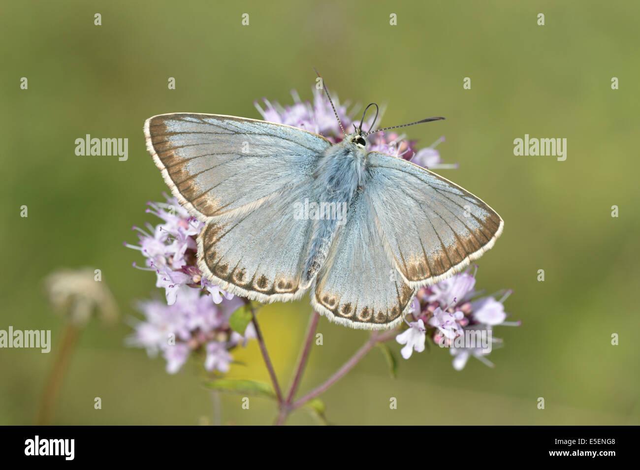 Chalkhill Blue Polyommatus coridon - Stock Image