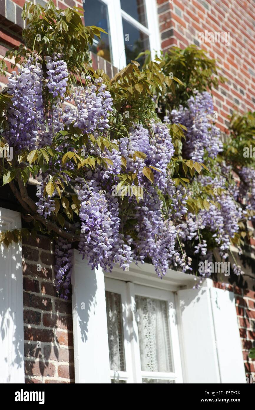 Une Glycine En Pot wisteria on front house stock photos & wisteria on front