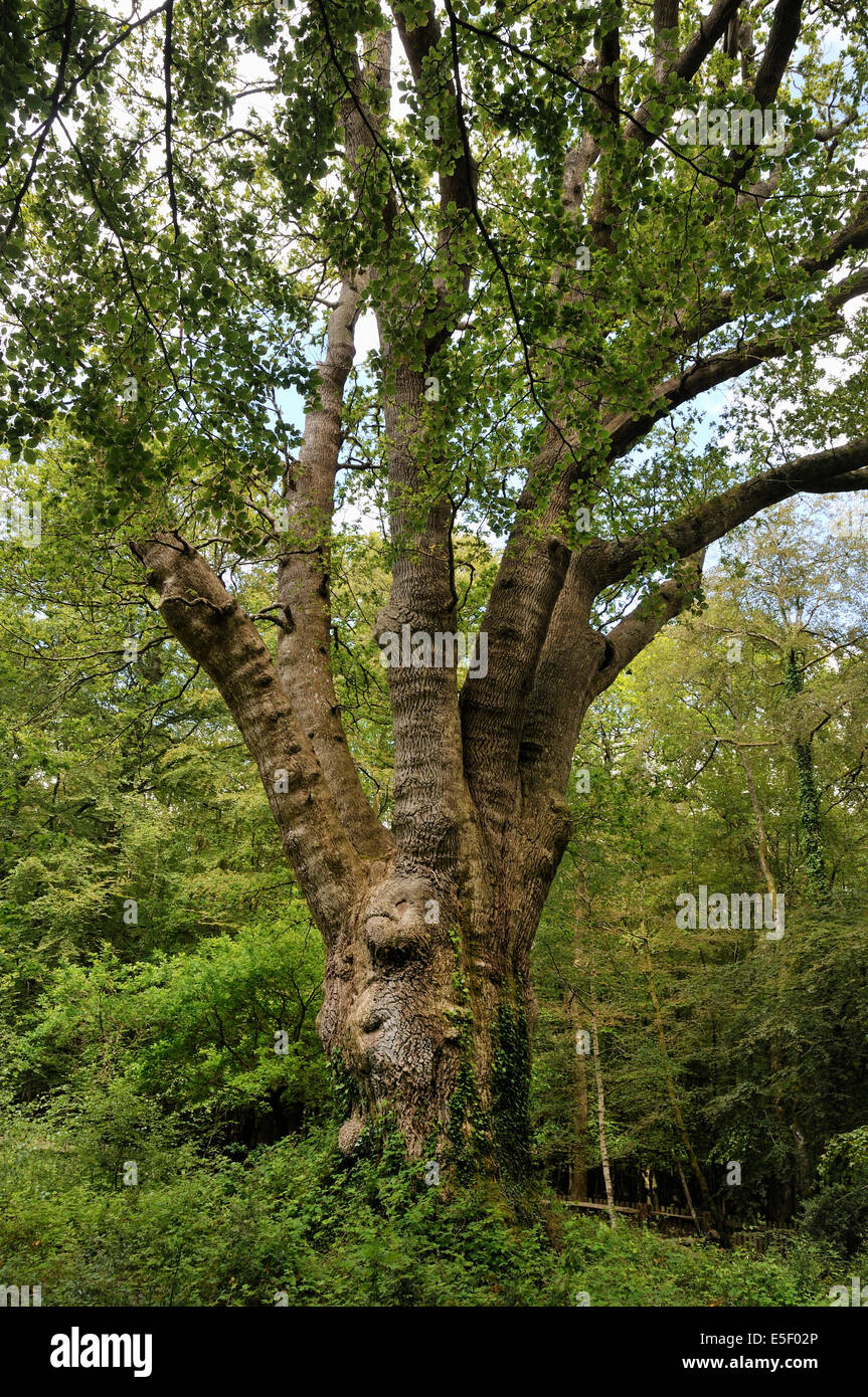 The Knightwood Oak 500 year old Pollarded Pedunculate (English) Oak Tree - Quercus robur Largest in the New Forest - Stock Image