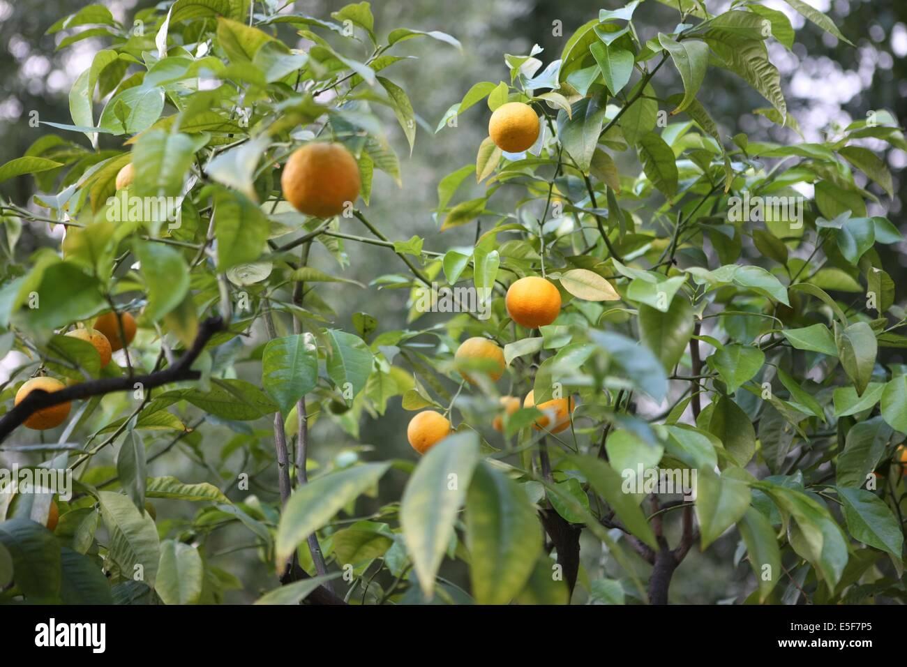 France, ile de france, paris, 12e arrondissement, bercy, parc de bercy, jardin yitzhak rabin, espace vert, orangers - Stock Image