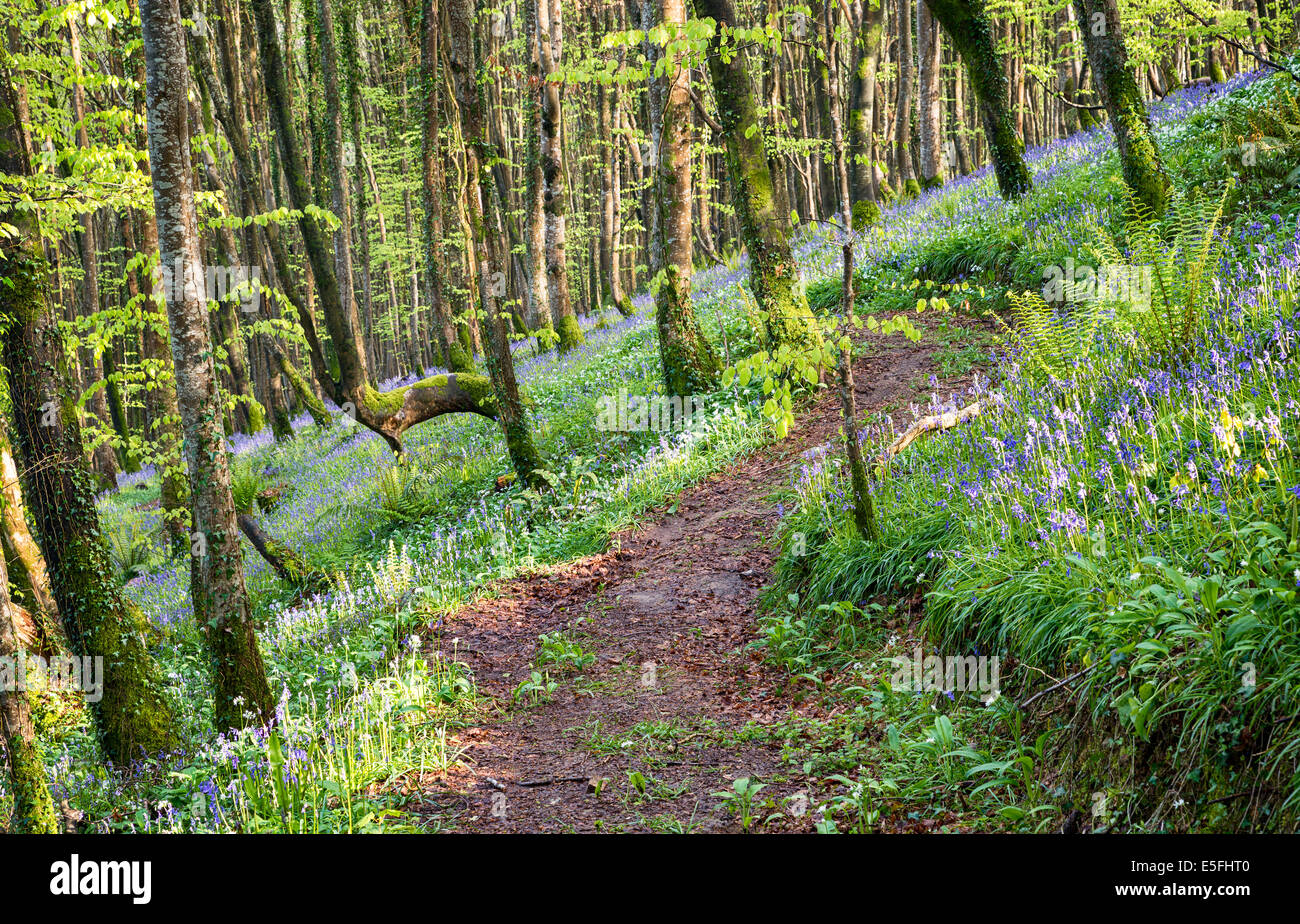 Beech woodland with a carpet of spring bluelbells - Stock Image