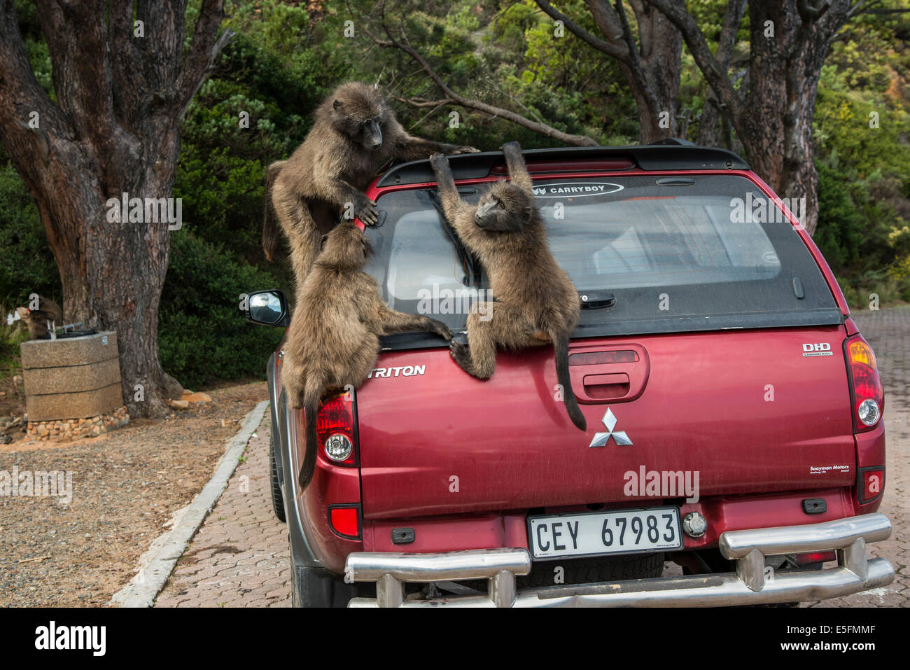 Chacma Baboons (Papio ursinus) playing on a parked car, Clarence Drive, Gordon's Bay, Western Cape, South Africa - Stock Image