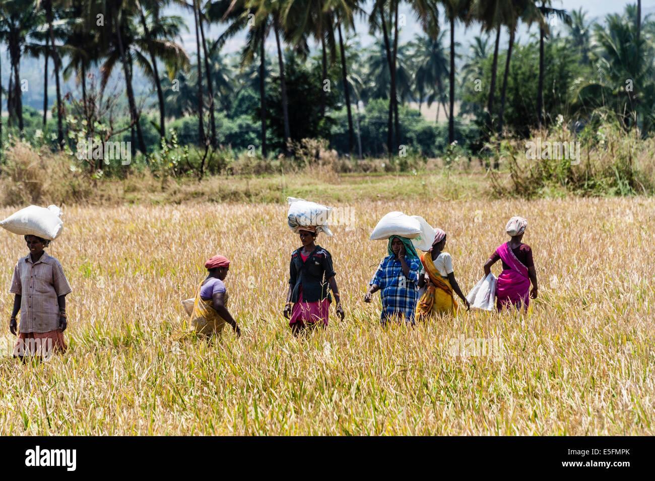 Indian women carrying sacks of rice on their heads on a field, Uttamapalaiyam, Tamil Nadu, India - Stock Image