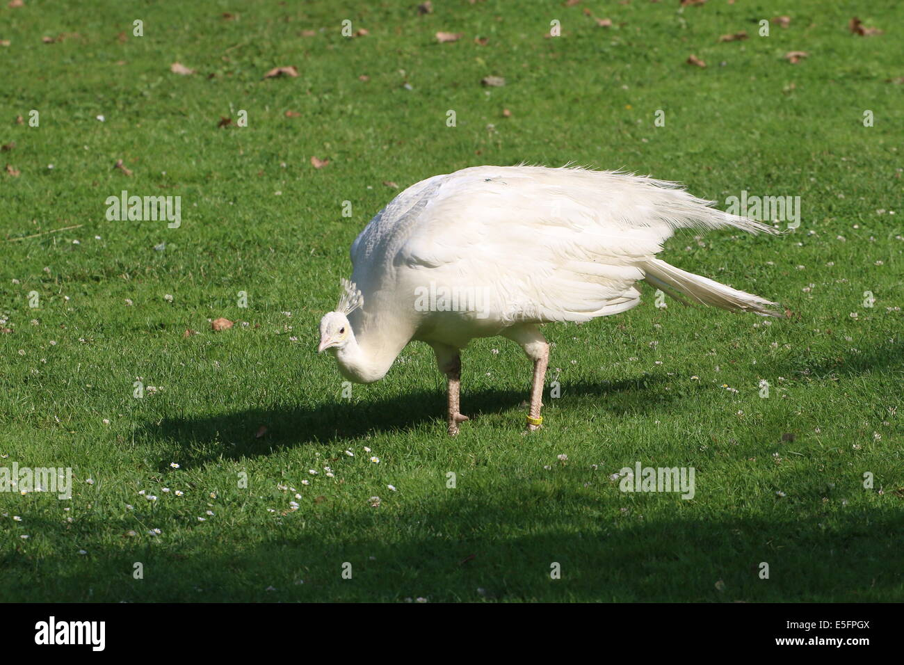 Leucistic or all white variety of the  Blue Peacock or Indian Peafowl (Pavo cristatus alba) - Stock Image