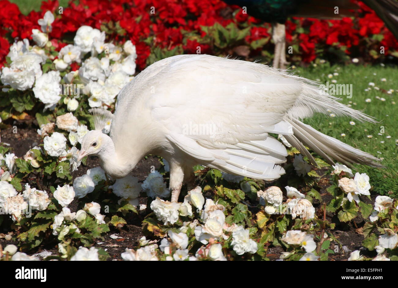 Leucistic or all white variety of the  Blue Peacock (Pavo cristatus alba) walking through a bed of flowers - Stock Image