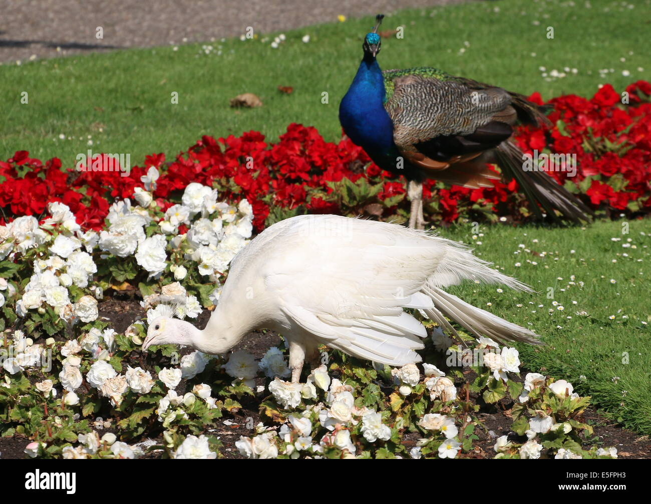 Leucistic or all white variety of the  Blue Peacock  (Pavo cristatus) foraging in a flower bed, normal blue male - Stock Image