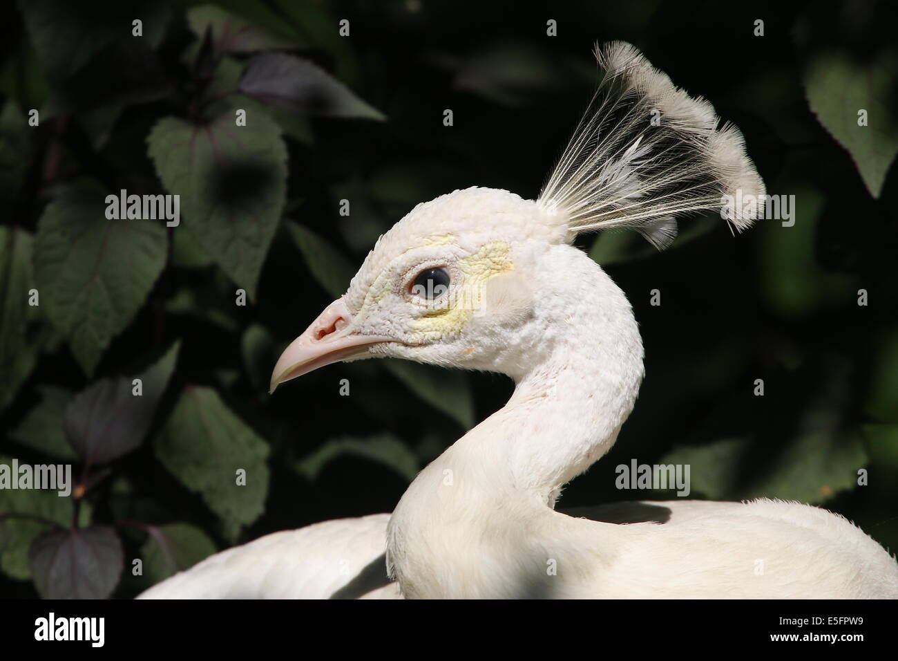 Portrait close-up of  a leucistic or all white variety of the  Blue Peacock  (Pavo cristatus alba) - Stock Image