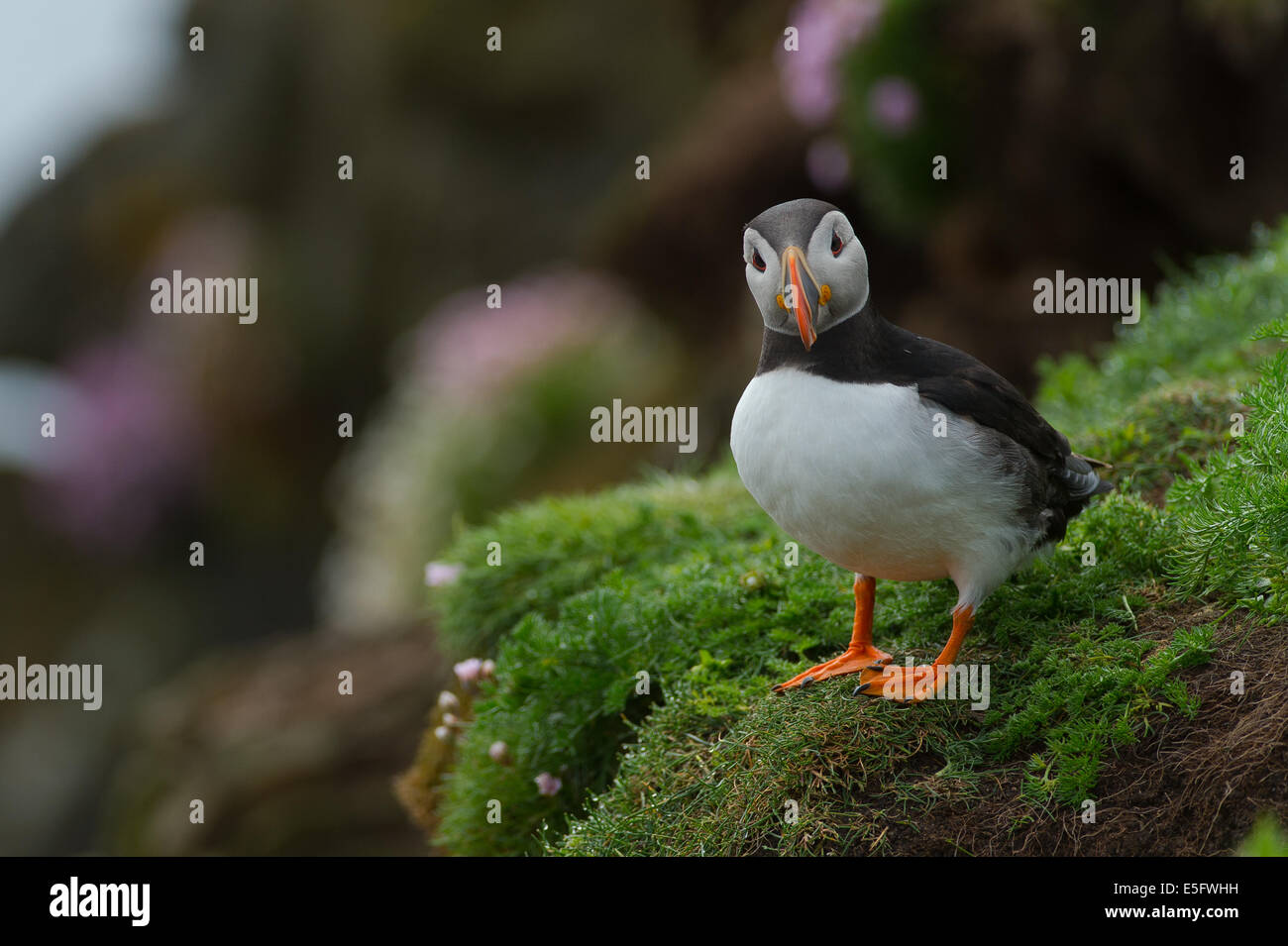 Puffin on Cliff Stock Photo