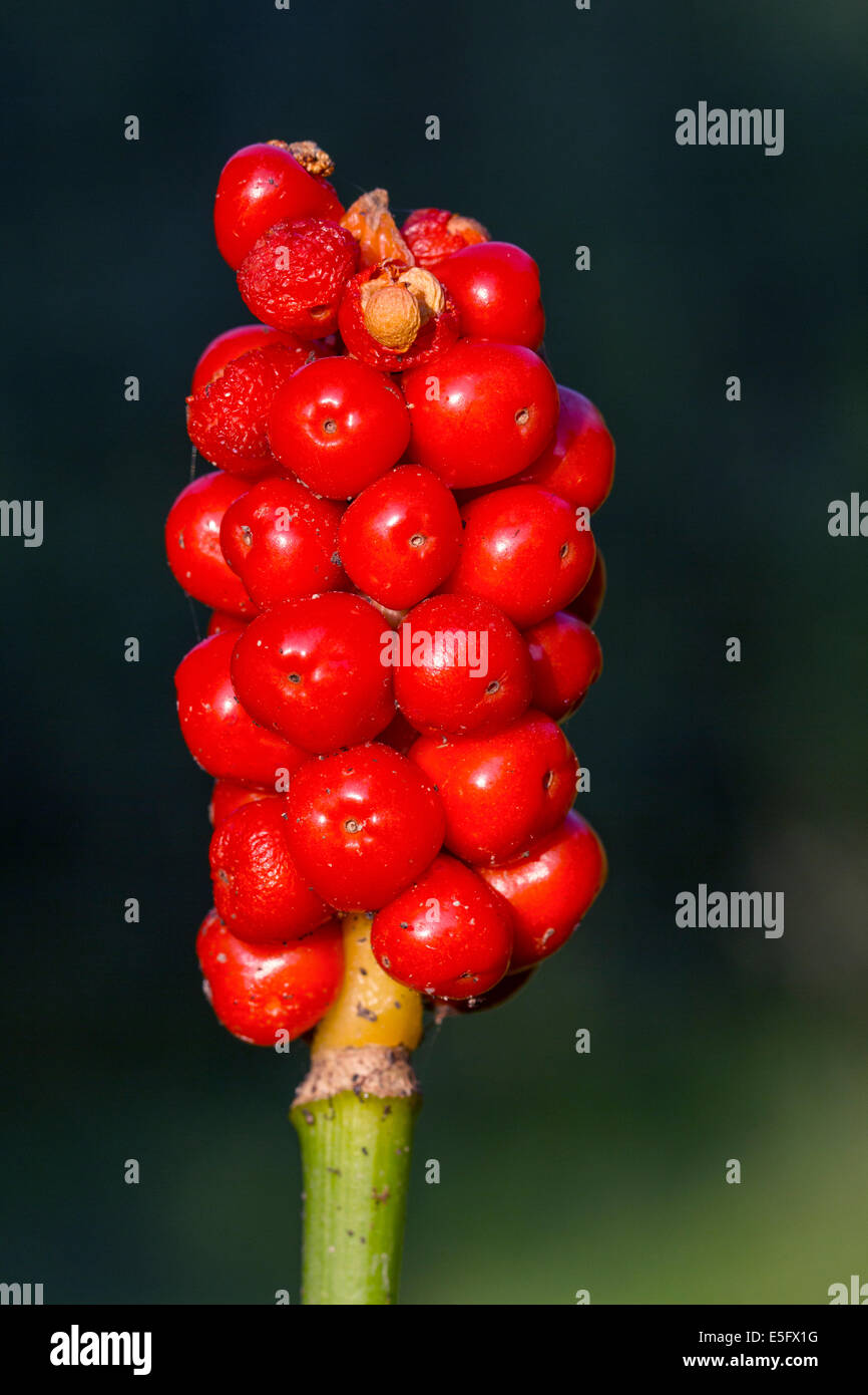 Cuckoo-pint / lords-and-ladies (Arum maculatum) showing red poisonous berries - Stock Image