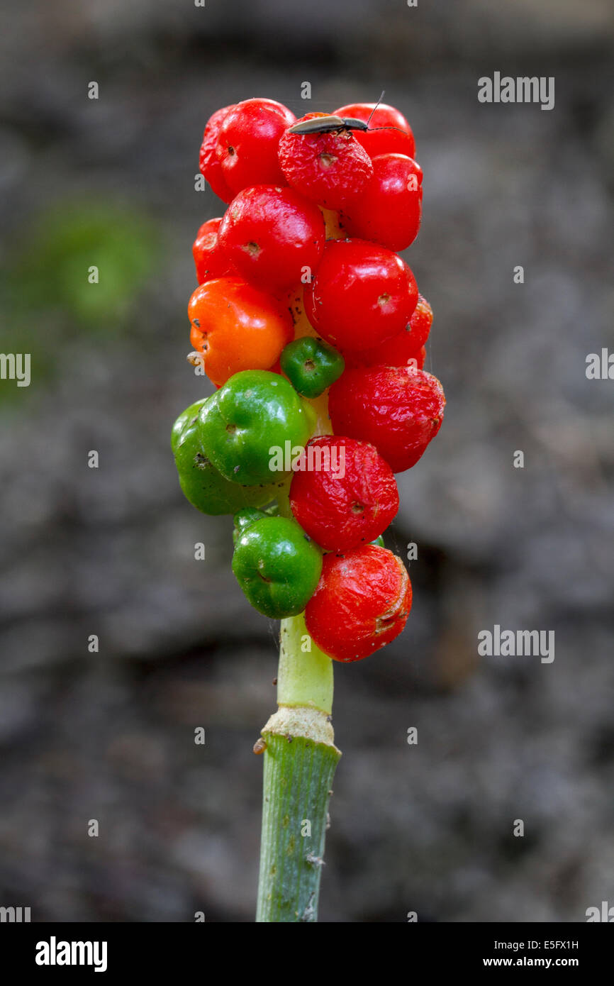 Cuckoo-pint / lords-and-ladies (Arum maculatum) showing red poisonous berries Stock Photo
