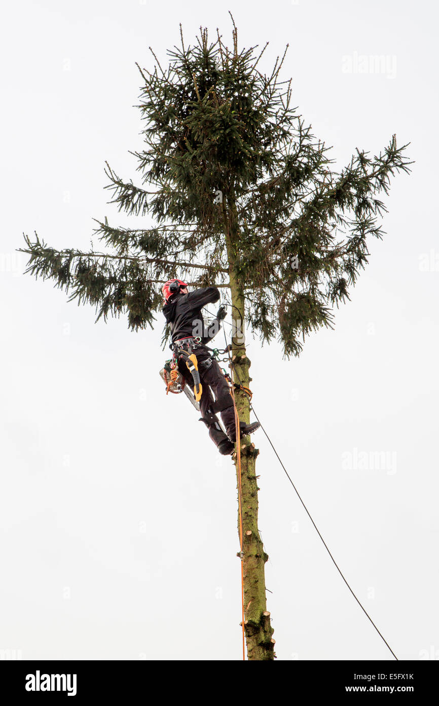 Tree surgeon / arborist / arboriculturist pruning spruce tree - Stock Image