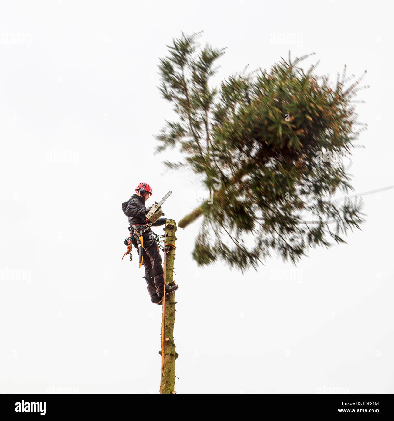 Tree surgeon / arborist / arboriculturist cutting tree top with chainsaw - Stock Image