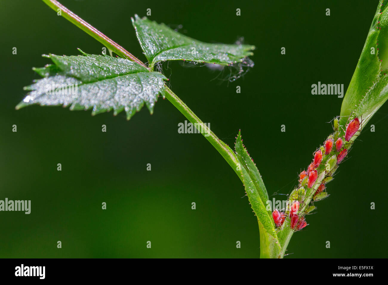 Red and green aphids / plant lice (Aphidoidea) on plant - Stock Image