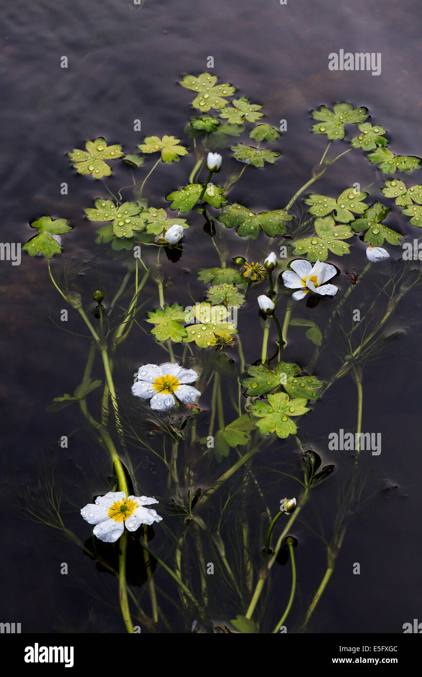 Common water-crowfoot / white water-crowfoot (Ranunculus aquatilis) floating in mats on the surface of stream - Stock Image