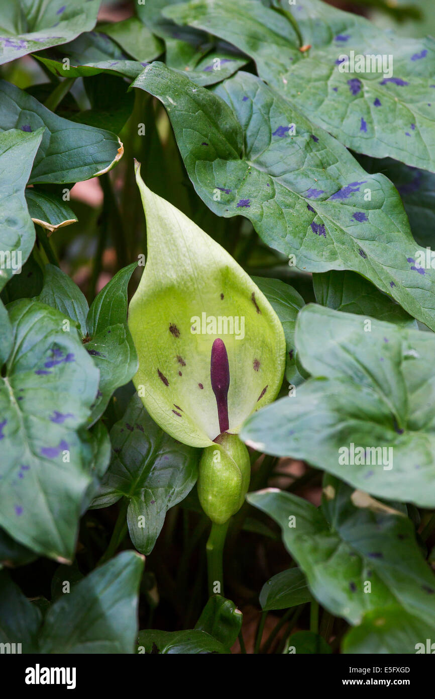 Cuckoo-pint / lords-and-ladies (Arum maculatum) in flower Stock Photo