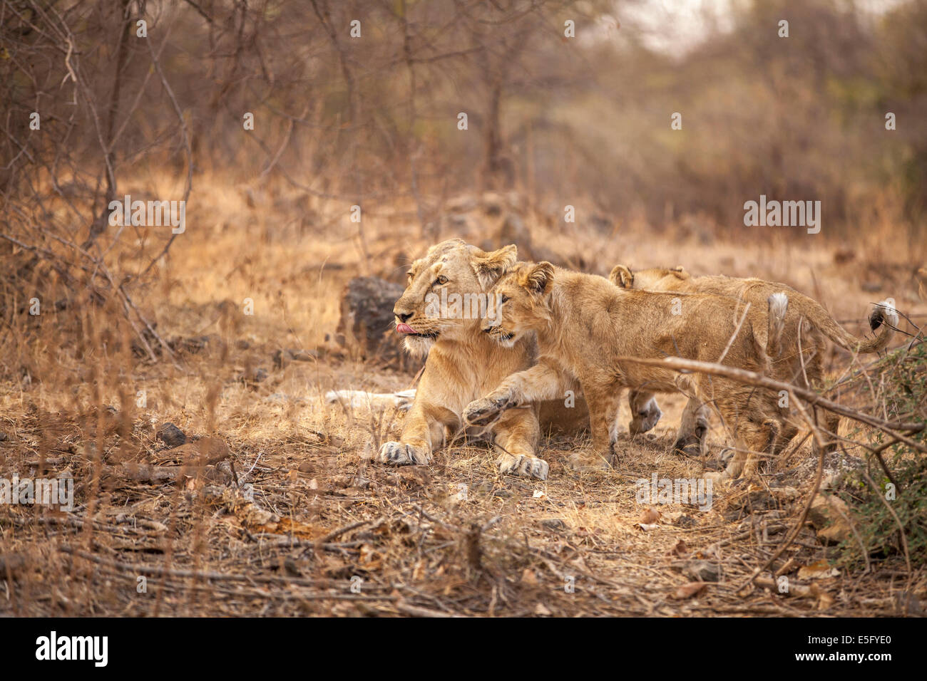 Asiatic Lions [Panthera leo persica] family at Gir Forest, Gujarat India. - Stock Image