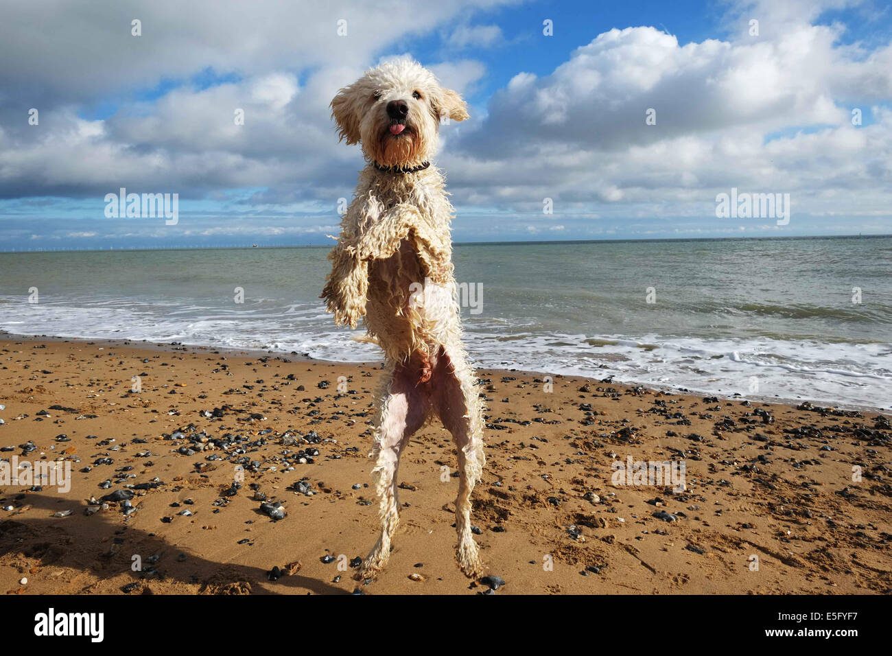 Labradoodle Dog jumping on a beach - Stock Image