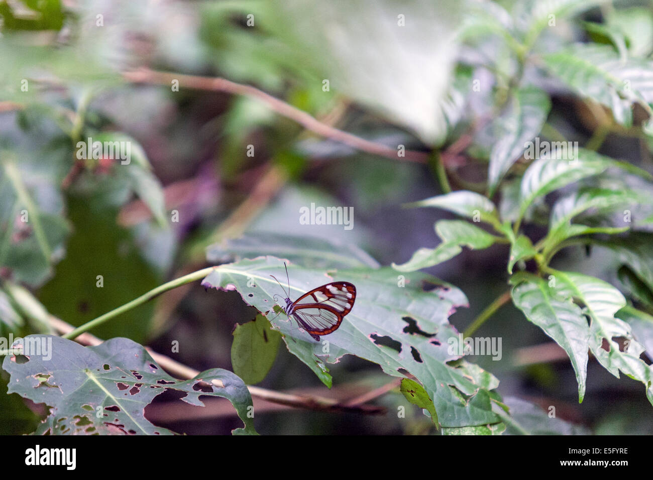 The Glasswinged butterfly (Greta oto) is a brush-footed butterfly, and is a member of the subfamily Danainae, tribe - Stock Image