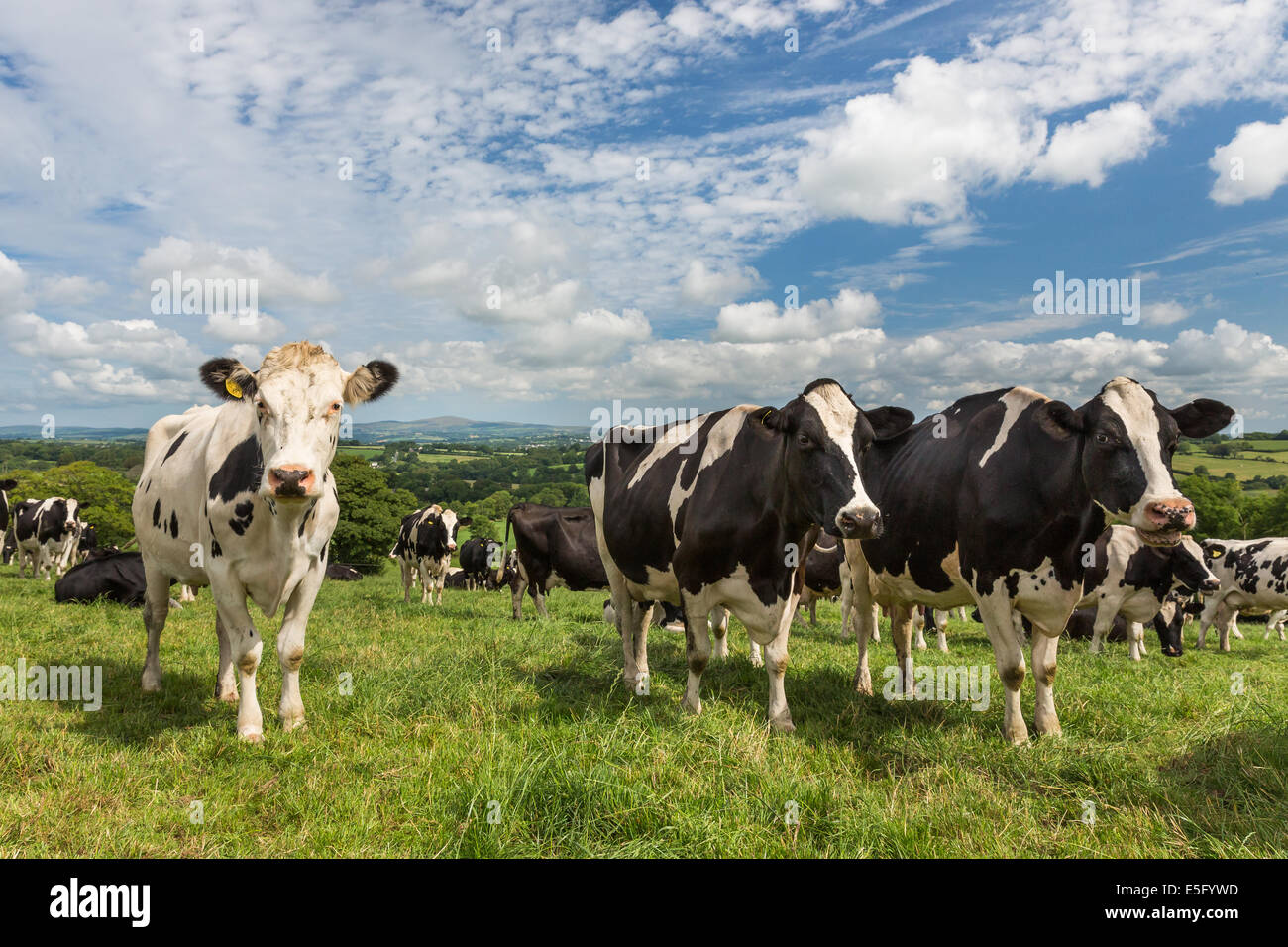Dairy cow (Holstein / Friesian) with a scenic green countryside background - Pembrokeshire Preseli Hills. Summer - Stock Image