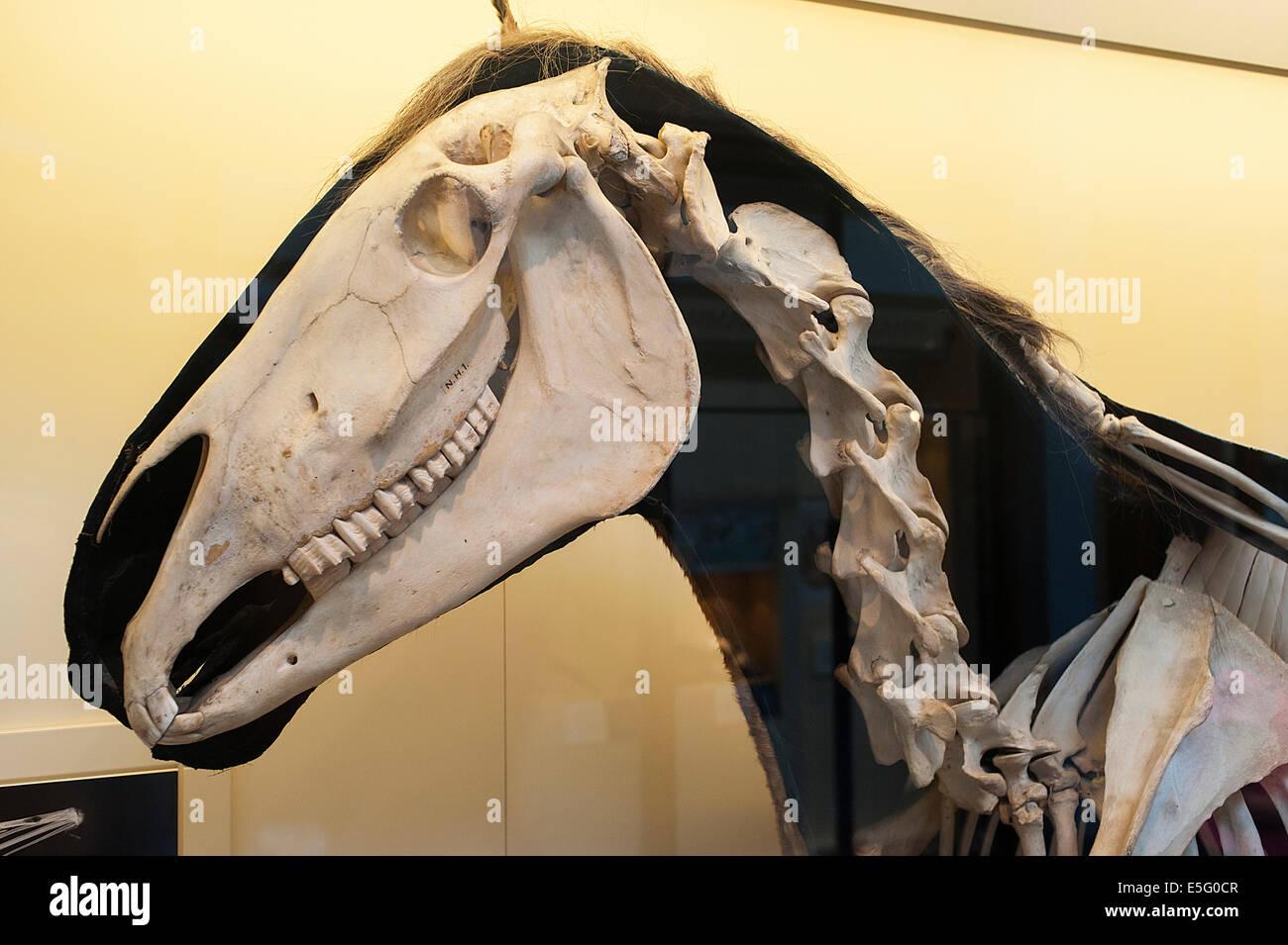 Skeleton of modern horse Equus ferus, Equidae, mammal - Stock Image
