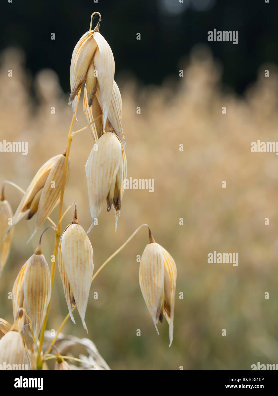 Close up of golden oat plants - Stock Image