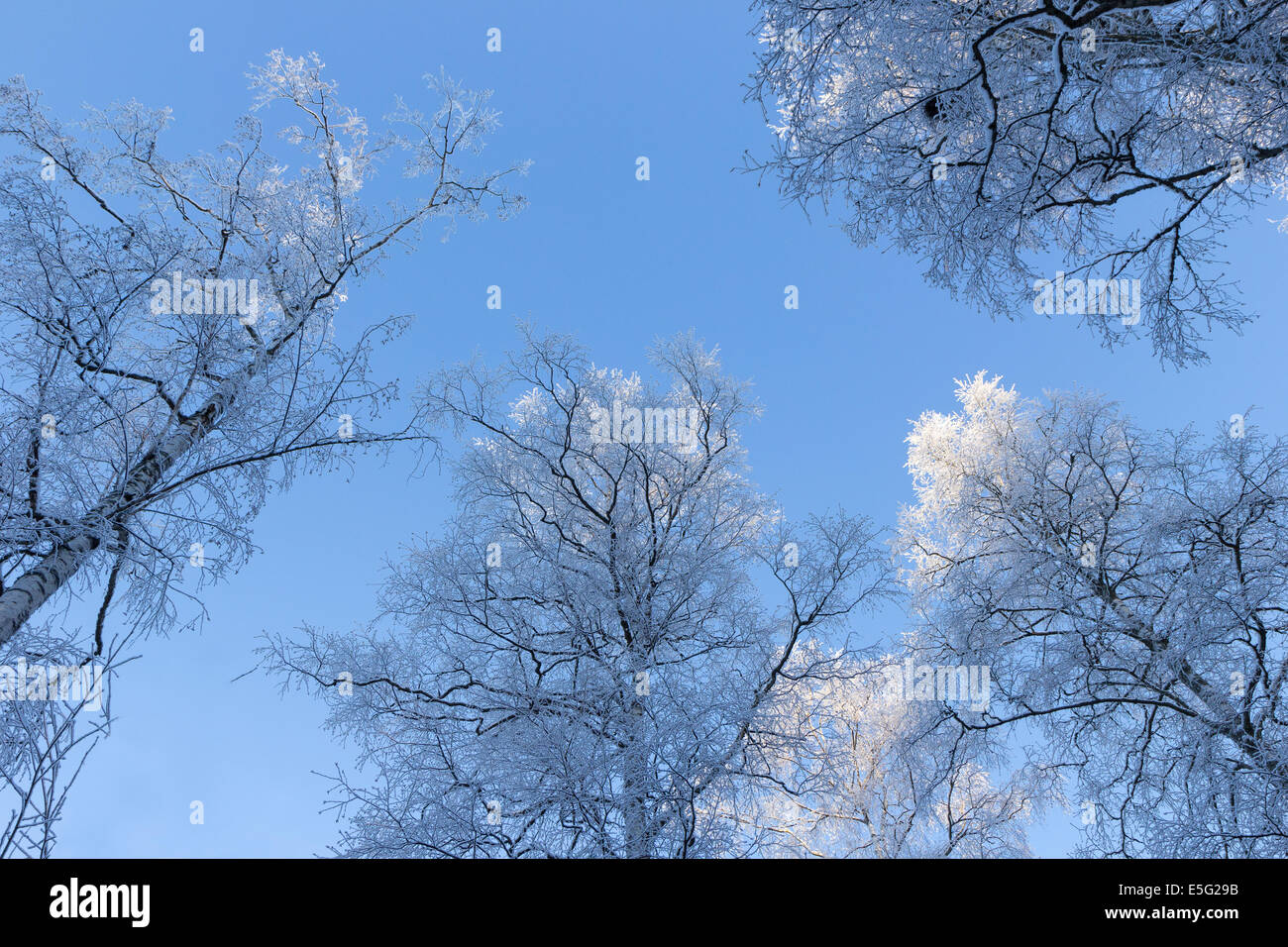 Frosty trees viewed from below at a bright & clear day - Stock Image